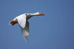 Anatra bianca durante il volo Fotografia Stock Libera da Diritti