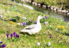 Anatra bianca fra i fiori del croco Fotografia Stock