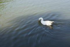 Anatra bianca nel lago Fotografie Stock Libere da Diritti