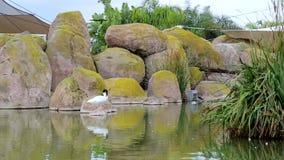 Anatra bianca rocciosa con una testa nera che sta su una pietra in un lago, oceanografia, Valencia, Spagna video d archivio