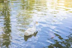 Anatra bianca su acqua Immagini Stock