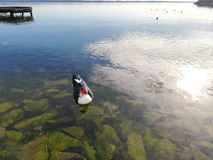 Anatra in bianco e nero con il viso arrossato che galleggia nell'acqua sopra le rocce verdi immagine stock