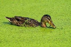 Anatra che cerca alimento in acqua di fioritura Mallard - un uccello dalla famiglia della separazione delle anatre degli uccelli  fotografia stock