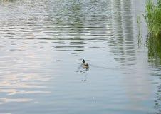 Anatra che galleggia nello stagno della città Fotografie Stock Libere da Diritti