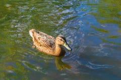 Anatra che galleggia sull'acqua Fotografia Stock Libera da Diritti