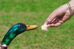 Anatra che si alimenta sul pane Fotografia Stock