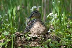 Anatra che si siede sul nido Fotografia Stock Libera da Diritti