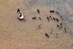 Anatra con gli anatroccoli nell'acqua Immagini Stock Libere da Diritti