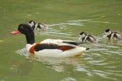 Anatra con i pulcini nel lago Fotografie Stock