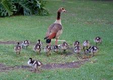 Anatra con i suoi bambini Fotografie Stock