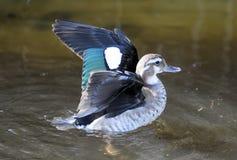 Anatra con la diffusione delle ali Fotografie Stock Libere da Diritti