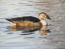 Anatra dal bernoccolo (Sarkidiornis melanotos). Duck from the bump which is reflected in the waters of a pond Stock Photo