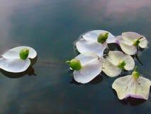 Anatra del fiore Immagini Stock