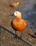 Anatra dell'arancia della foto Fotografia Stock