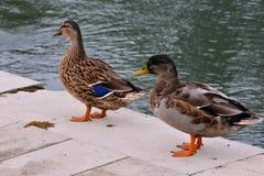 Anatra dell'uccello acquatico fotografia stock libera da diritti