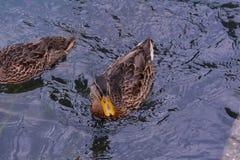 Anatra dell'uccello acquatico fotografie stock