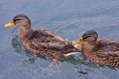 Anatra dell'uccello acquatico immagini stock libere da diritti