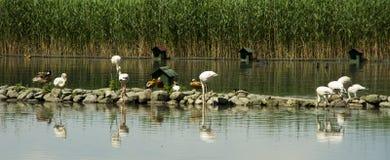Anatra della cicogna del lago Fotografie Stock Libere da Diritti