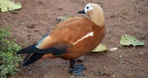 Anatra della colomba Immagine Stock Libera da Diritti