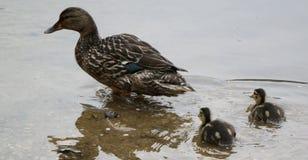 Anatra della madre con i pulcini che camminano in acqua fotografia stock libera da diritti