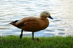 Anatra di Brown sul lago Fotografia Stock