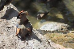 Anatra di Duck Mandarin fotografie stock