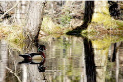 Anatra di legno maschio in primavera 3 Fotografia Stock