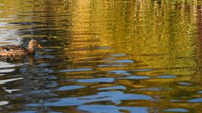 Anatra di Mallard che nuota sopra le ondulazioni su acqua stock footage