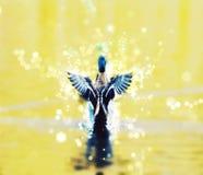 Anatra di Mallard con fondo luccicante Fotografie Stock Libere da Diritti