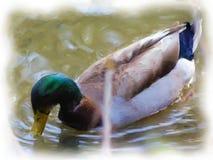Anatra di Mallard sulla spazzola Paintin di The Creek immagini stock libere da diritti