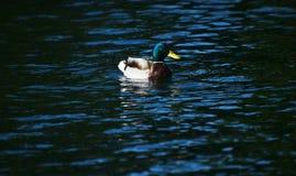 Anatra di Mallard in un'acqua ondulata del lago Fotografia Stock