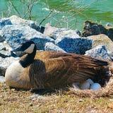 Anatra di mamma e le sue uova Fotografia Stock