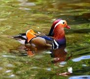Anatra di mandarino Fotografia Stock Libera da Diritti
