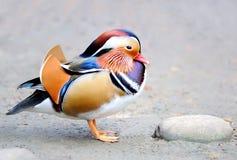 Anatra di mandarino Fotografie Stock Libere da Diritti
