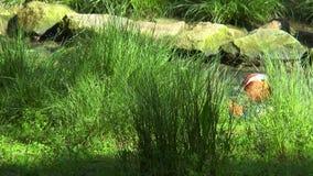Anatra di mandarino che si siede nell'erba sulla banca di The Creek stock footage