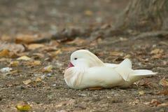 Anatra di mandarino dell'albino fotografia stock libera da diritti