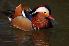 Anatra di mandarino di nuoto Immagine Stock Libera da Diritti