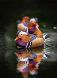 Anatra di mandarino, galericulata del Aix, su acqua Fotografia Stock Libera da Diritti