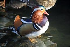 Anatra di mandarino maschio Fotografia Stock