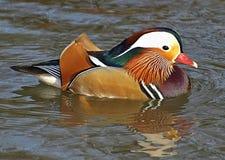 Anatra di mandarino di nuoto variopinta fotografia stock libera da diritti