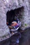 Anatra di mandarino variopinta Fotografie Stock Libere da Diritti