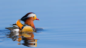 Anatra di mandarino variopinta Immagine Stock