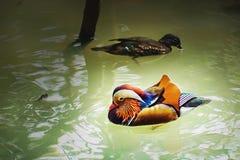 Anatra di mandarino variopinta con il suo compagno, nuotante sullo stagno Zoo di Ragunan, Jakarta, Indonesia fotografia stock
