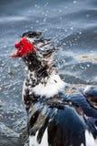 Anatra di Muscovy in acqua Fotografie Stock Libere da Diritti