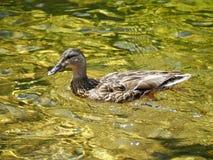 Anatra di nuoto Immagini Stock Libere da Diritti