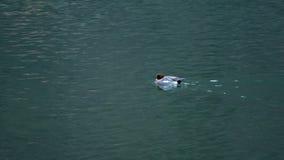 Anatra di nuoto nell'acqua stock footage