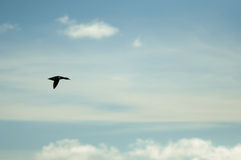 Anatra di volo Fotografia Stock