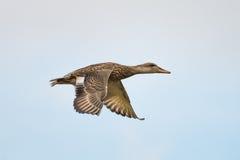 Anatra di volo Fotografie Stock