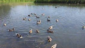 Anatra Ducky Fotografia Stock