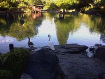 Anatra e cigno vicino al lago tranquillo Immagini Stock